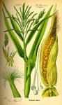 Viete, že ... ... kukurica siata, tak ako ju dnes poznáme, vznikla takmer pred 4000 rokmi v Mexiku?