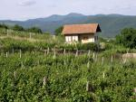 Vinohradníctvo v Pukanci