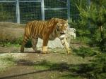 Zoo - tiger ussurijský
