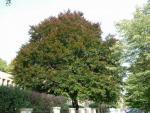 Buk lesný (Fagus silvatica)
