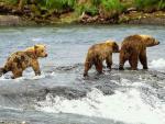 Medvede hnedé