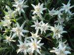 Plesnivec alpínsky (Leontopodium alpinum)