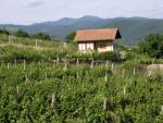 Vinohradníctvo v Pukanci 1